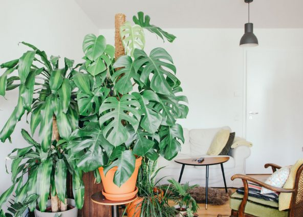 Interior photo, stay with green leafy plants located in a pot, these are placed in the foreground. In the background we see a sofa, chair, table and door which gives the feeling of a very overloaded environment.